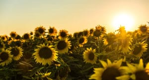 A field of sunflowers with a warm sunny glow